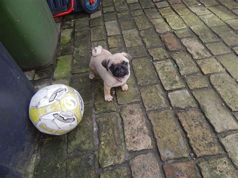 pug puppies for sale in norfolk pug puppies for sale great yarmouth norfolk pets4homes