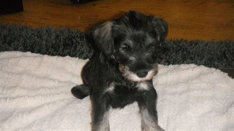 schnauzer puppies for sale miniature schnauzer puppies for sale port talbot neath port talbot pets4homes