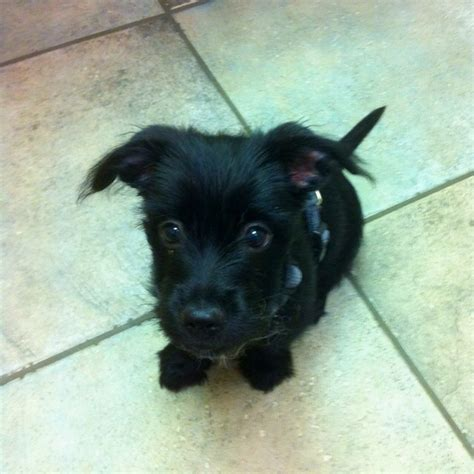 scottish terrier and yorkie mix scorkie scottie and yorkie mix scorkie puppys and yorkie
