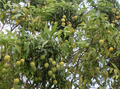 mango tree with fruits images mango tree fruits images