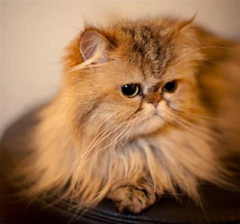 gatti persiani immagini gatto persiano carattere e prezzo idee green