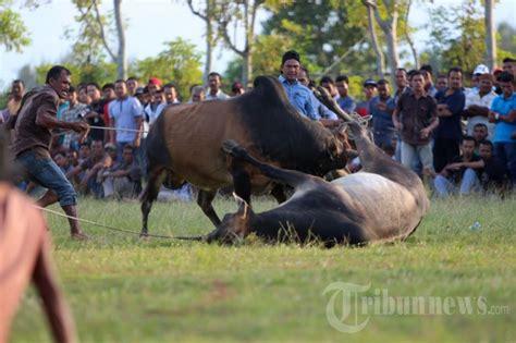 Bibit Sapi Di Aceh tradisi adu sapi di aceh foto 1 1632424 tribunnews