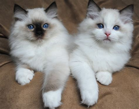 ragdoll cats for adoption cats michigan free classified ads