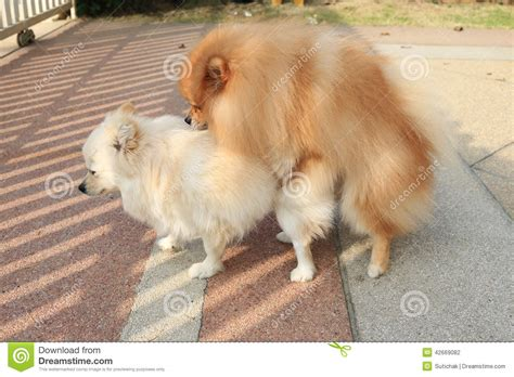 white and brown pomeranian dogs pomeranian brown and white puppies