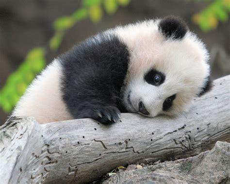 kopi hangat foto anak panda lucu
