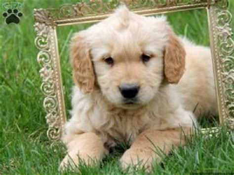 golden retriever breeders maryland golden retriever puppies for sale md dogs in our photo