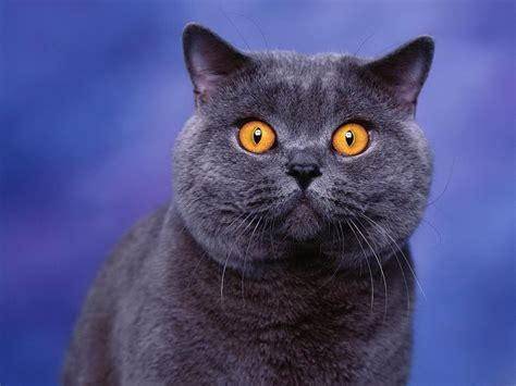 wallpaper cats wallpapers yellow eyes cat wallpapers
