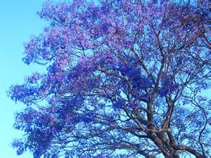 blue jacaranda mimosifolia flowering tree seeds 40 ebay