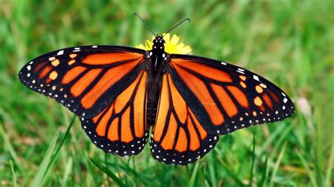 monarch butterfly deadly animals