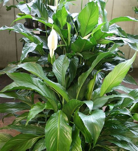 peace lily plant pictures