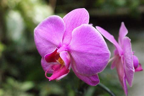 orchidea fiore cura dove posizionare le orchidee in casa cura orchidee