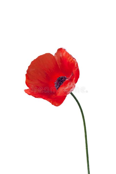 close up of red poppy flower stock photo image 19746884