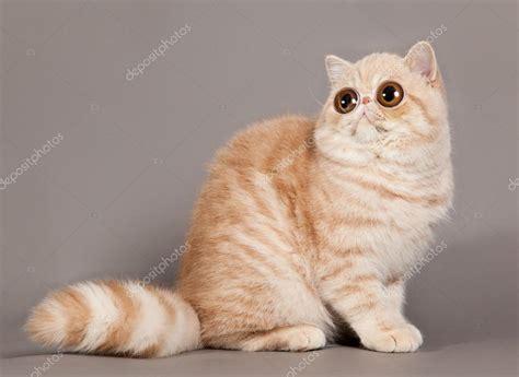 gatti persiani grigi gatto esotico shorthair gatto persiano su sfondo grigio
