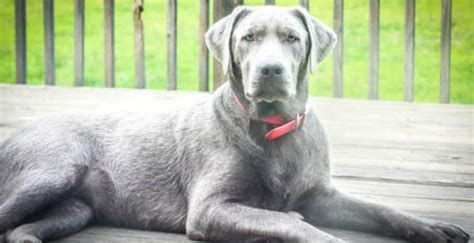 silver labs puppies for sale silver lab puppies for sale driverlayer search engine