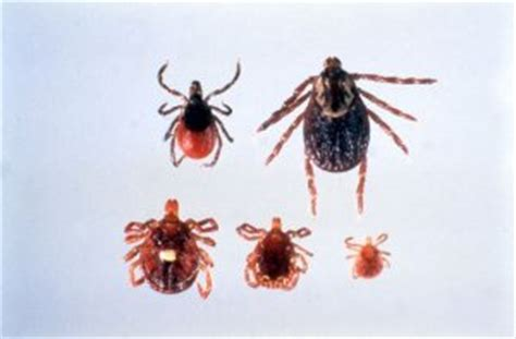 found tick in house i think i found a deer tick in my house