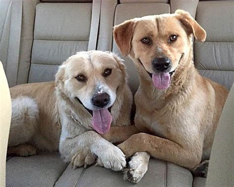 golden retrievers for adoption in pa 17 best ideas about golden labrador on golden labrador puppies yellow