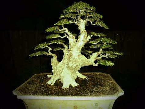 Media Tanam Pak Tani cara menanam dan merawat bonsai yang bernilai jual tinggi