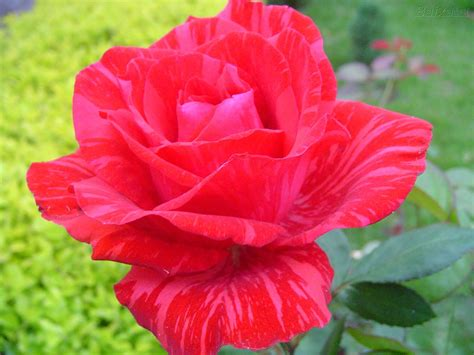 imagenes de lindas rosas lindas rosas crescer para vida