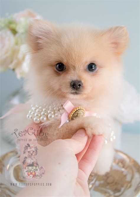 tiny teacup pomeranian puppies for sale teacup puppies by breed yorkies chihuahuas pomeranians