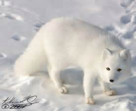 Arctic fox eyes arctic fox update by