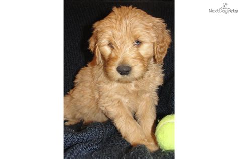 goldendoodle puppies for sale in tn goldendoodle puppy for sale near nashville tennessee