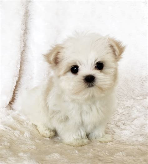 maltipoo puppies price tiny teacup maltipoo puppy iheartteacups