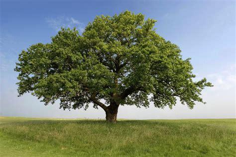 oak tree rubber st new york city s trees baa baa brooklynbaa baa