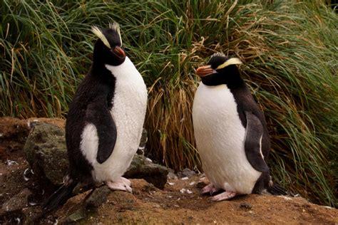 Erect-crested penguin | New Zealand Birds Online