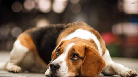 beagle alimentazione beagle razza descrizione carattere cuccioli foto