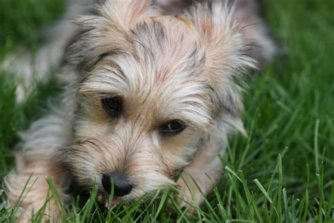 yorkie puppies mixed breed yorkie bichon mix temperament breeds picture