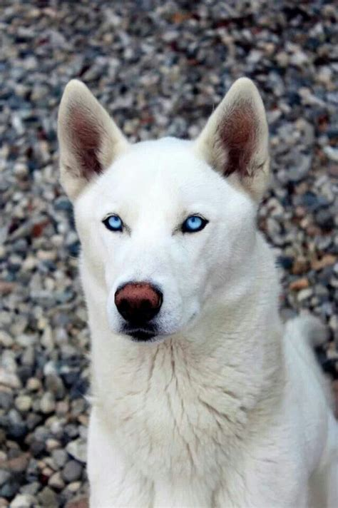 all white husky puppies 76 best images about white husky puppies on huskies puppies white