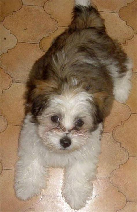 brown maltese shih tzu brown maltese puppy www imgkid the image kid has it