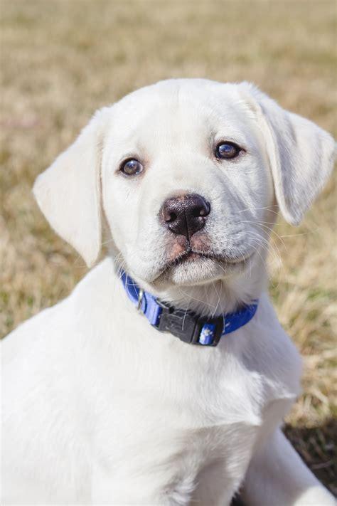 labrador names labrador names white dogs in our photo
