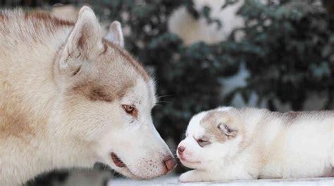 where to buy husky puppies the siberian husky