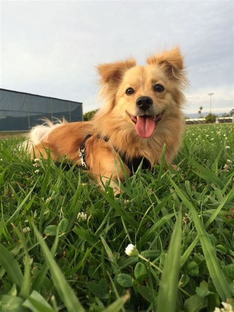 corgi mixed with pomeranian the 25 best corgi pomeranian mix ideas on corgi pomeranian five