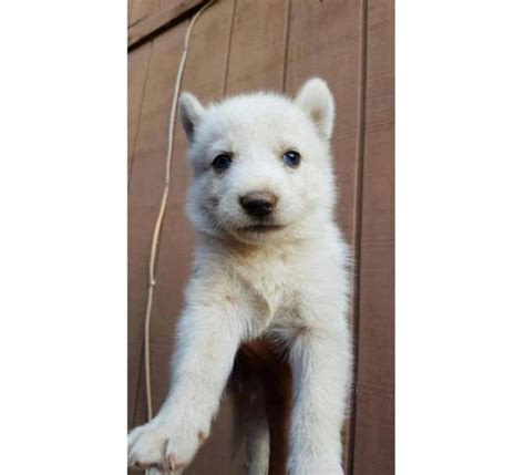 shepherd husky mix puppies for sale husky german shepherd mix puppies for sale in akhiok alaska puppies for sale
