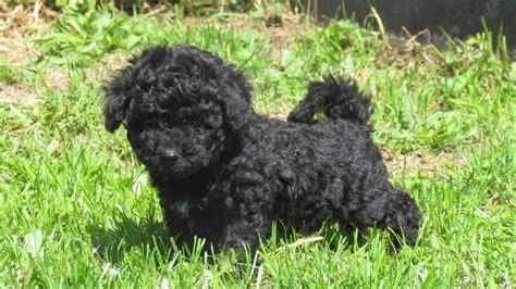 bichon poodle puppies poodle x bichon frise puppies gosport hshire pets4homes