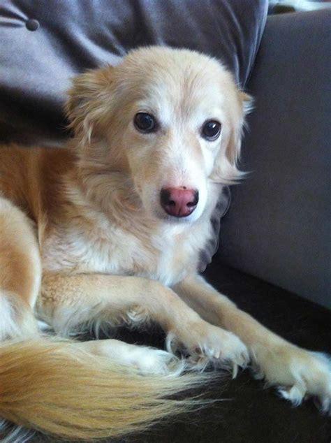golden retriever neutering animal advocates bc squamish reserves spay neuter