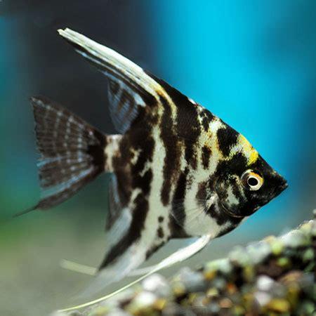 marble angelfish m l aquatics to your door