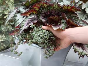 how to grow begonias landscaping ideas and hardscape