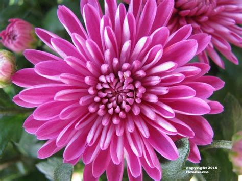 november flower 20 best images about november birth flowers on pinterest