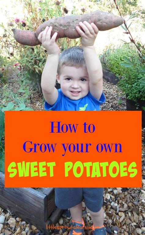 grow your own sweet potatoes outlaw garden 17 best images about gardening on pinterest gardens