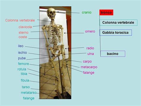 ossa della gabbia toracica apparato scheletrico tronco colonna vertebrale vertebre