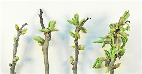 Twig Ls by Northern Pecans Pecan Trees Breaking Bud