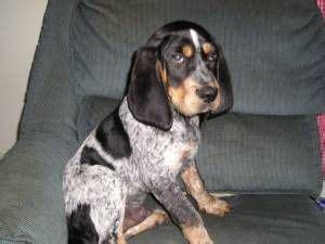 blue tick hound 25 best ideas about bluetick coonhound on hound hound puppies