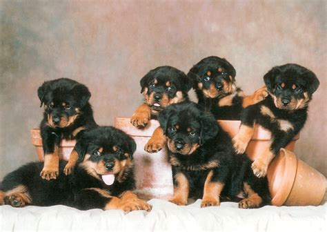 facts about rottweiler puppies history facts your rottweiler wants you to urdogs