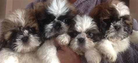 shih tzu puppies for sale in birmingham 4 fluffy shih tzu puppies for sale birmingham west midlands pets4homes