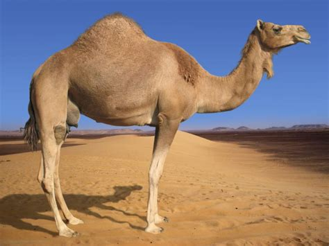 what is a camel back my dear hunter camel is back