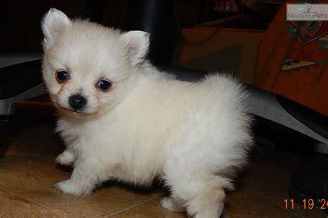 pomeranian for sale in indiana pomeranian puppy for sale near south bend michiana indiana 48ddeb0b 5691