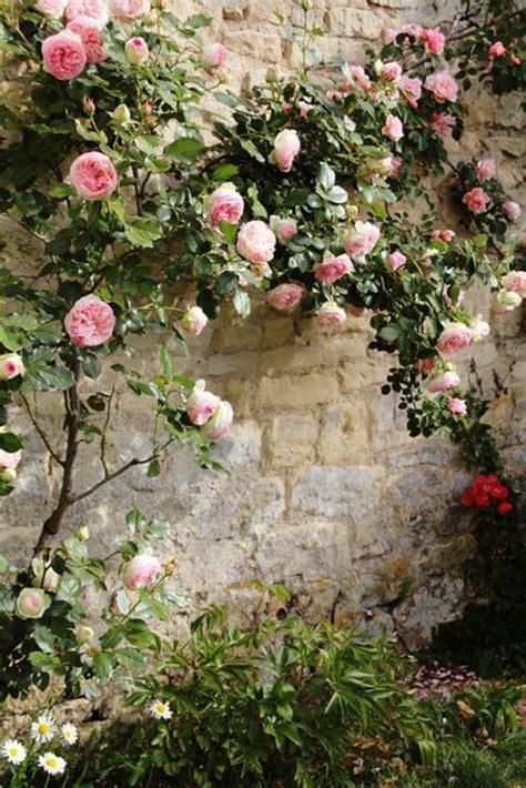 les pour plantes les 25 meilleures id 233 es concernant plantes grimpantes sur fleuraison de la vigne